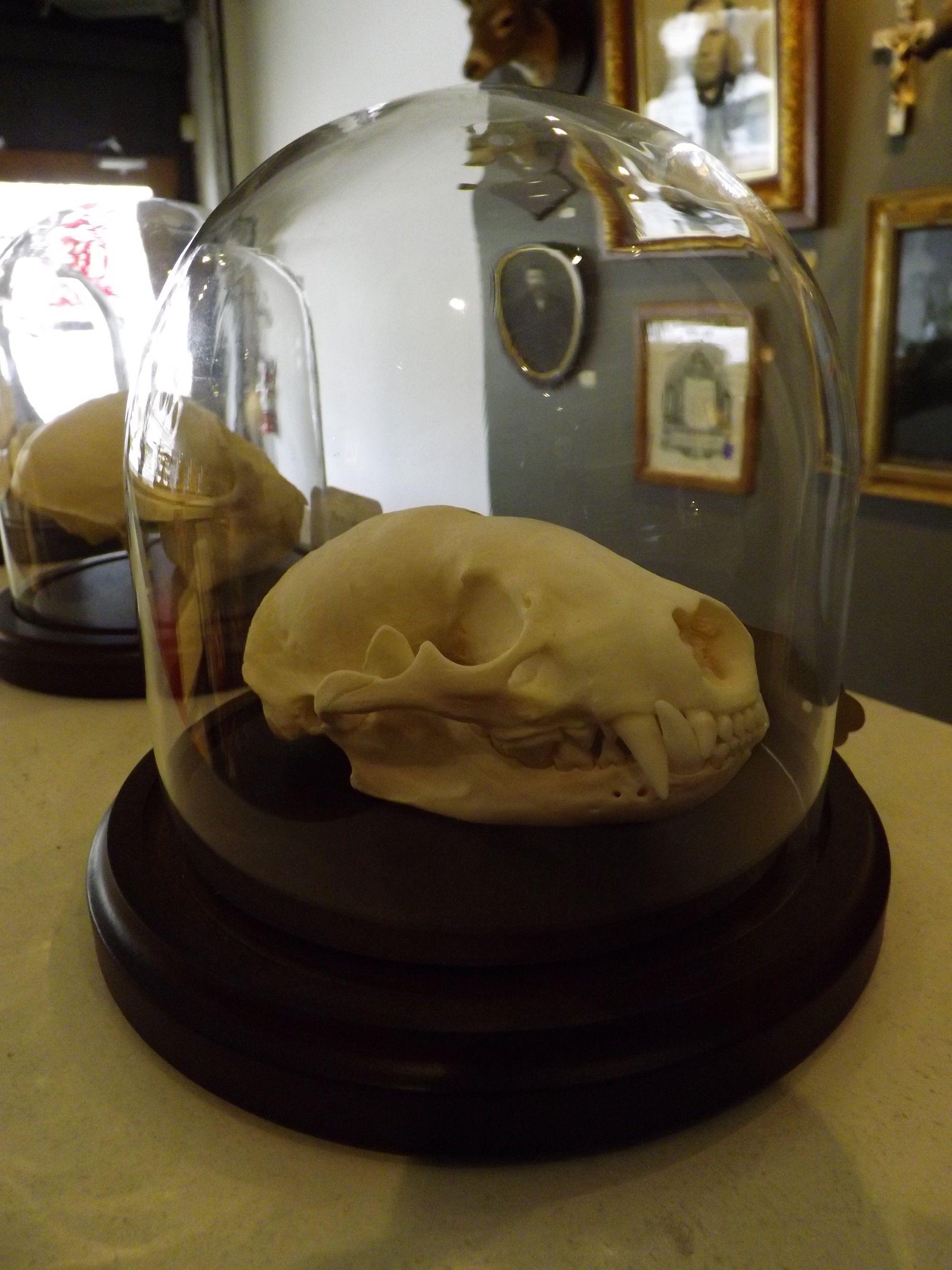 Badger skull in glass dome.