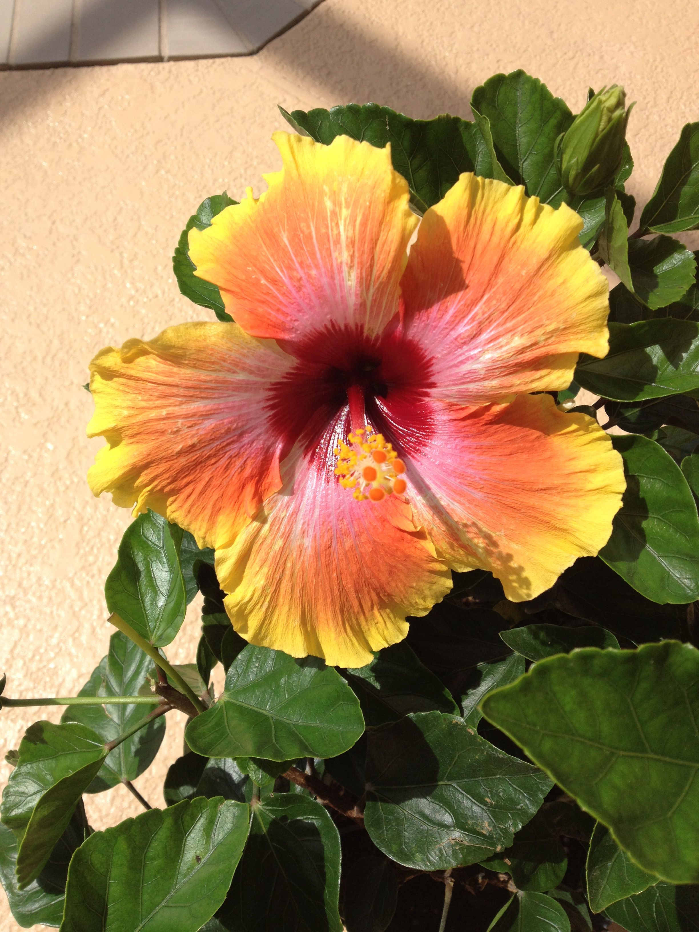 Hawaiian sunsetspin the bottle hibiscus flower in gorgeous bloom hawaiian sunsetspin the bottle hibiscus flower in gorgeous bloom izmirmasajfo Gallery