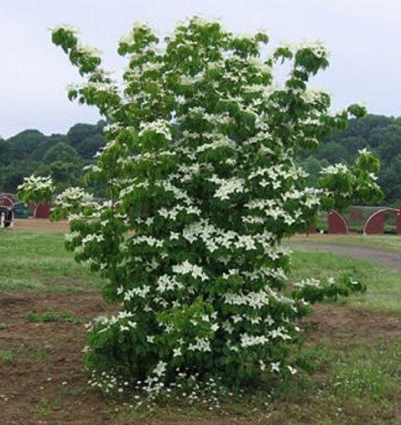 Cornus Kousa Korean Dogwood The Kousa Dogwood Is A Native Of Japan Korea And China With All The Attribute Flowering Trees Ornamental Trees Plant Catalogs