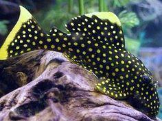 Gold Nugget Pleco Pleco Fish Fresh Water Fish Tank Tropical Fish Aquarium