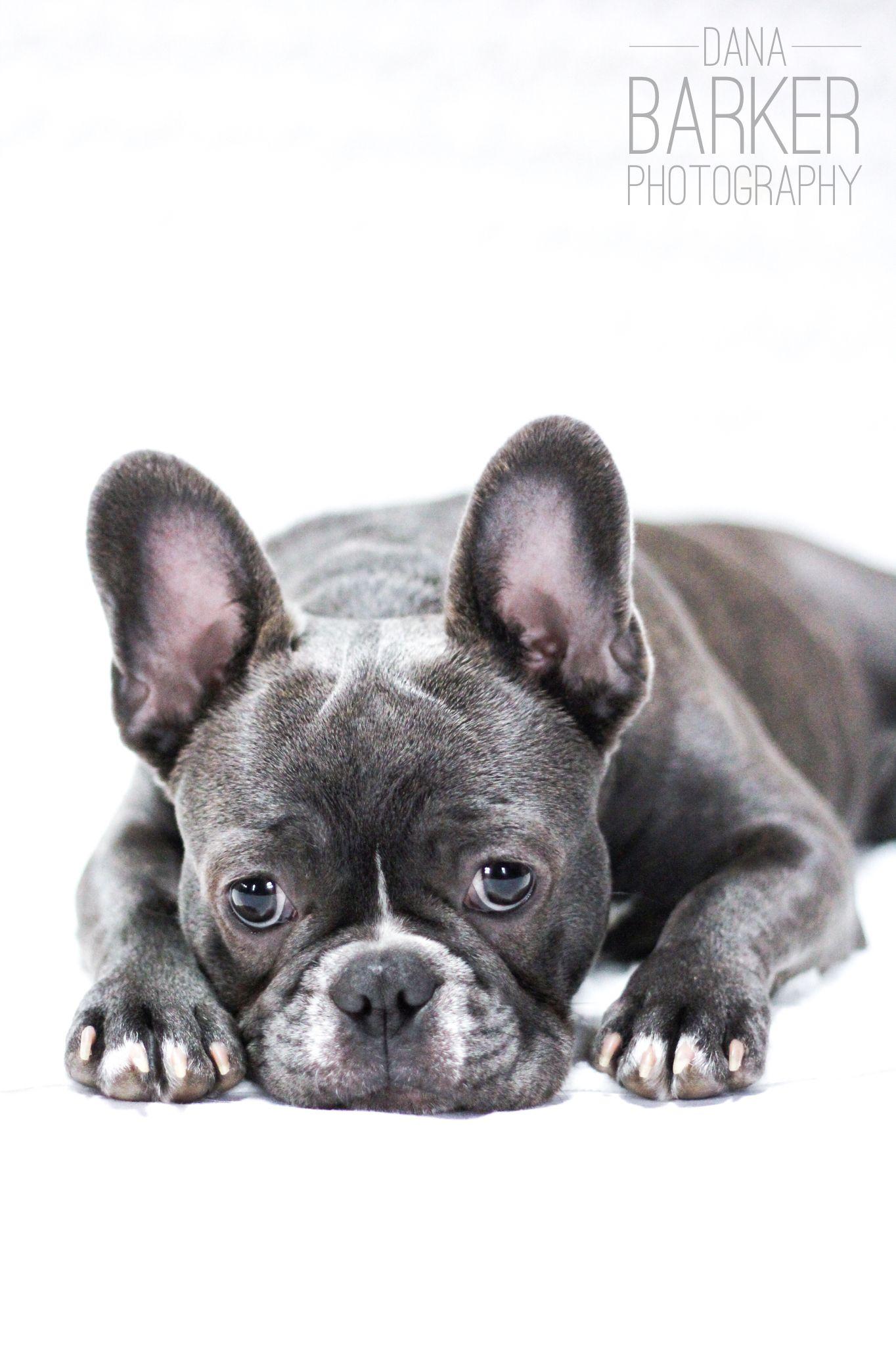 Blue Frenchie Pennypie French Bulldog Blue French Bulldog Blue Frenchie
