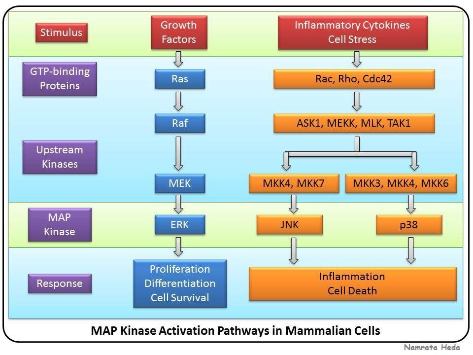 MAP Kinase Activation Pathways in Mammalian Cells   Cell ... on jak-stat signaling pathway, mapk/erk pathway, cyclic adenosine monophosphate, tgf beta signaling pathway, signal transduction, protein kinase, notch signaling pathway, receptor tyrosine kinase, wnt signaling pathway, cyclin-dependent kinase, pi3k/akt/mtor pathway, protein kinase c, adenylate cyclase, c-jun n-terminal kinases,