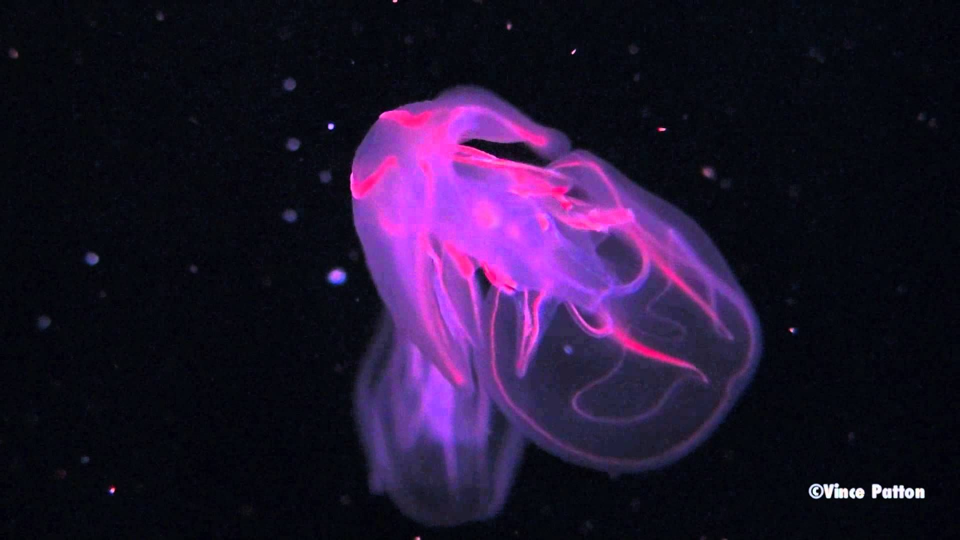 An Undescribed Species Of Hydromedusa Jellyfish In The Genus Tetrochis That Possesses Some Bioluminescent Capabilities