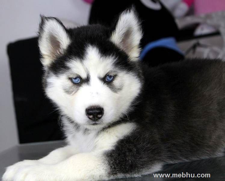 Akc Siberian Husky Champion Bloodline