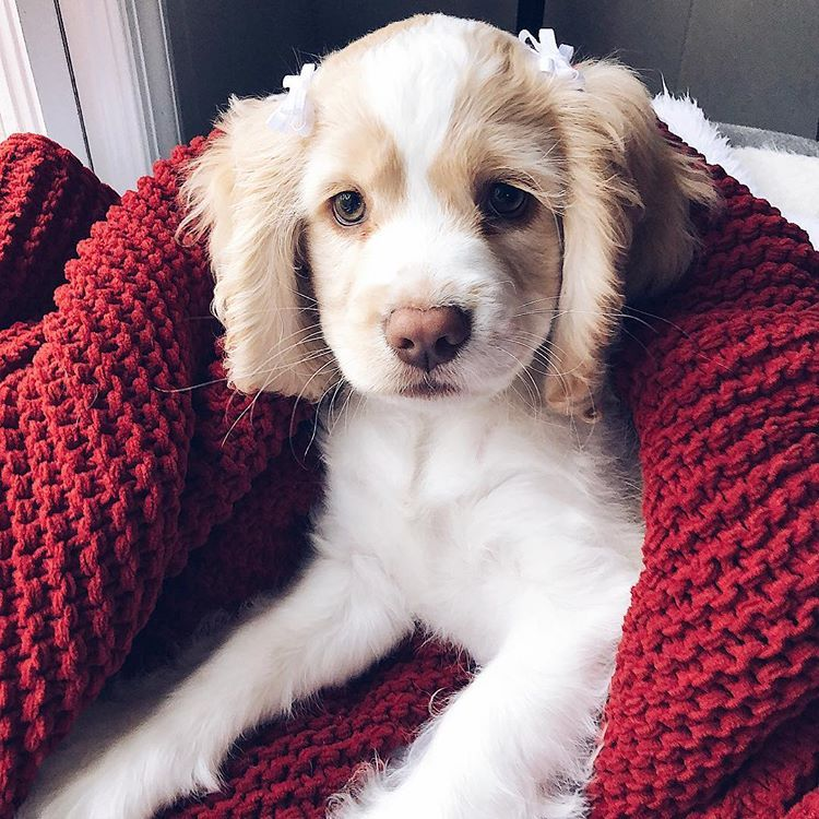Animals Will Teach You How To Love Unconditionally English Cocker Spaniels Puppies Cocker Spaniel Puppies Cocker Spaniel Puppies Spaniel Puppies Dogs