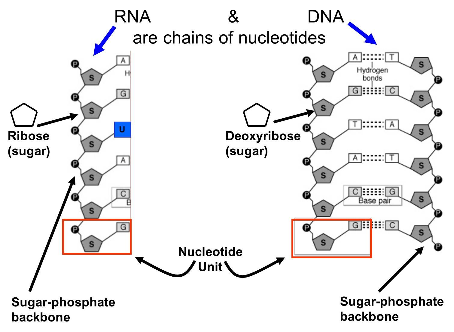 Nucleic Acids Are Chains Of Nucleotides Examples Of Nucleic Acids
