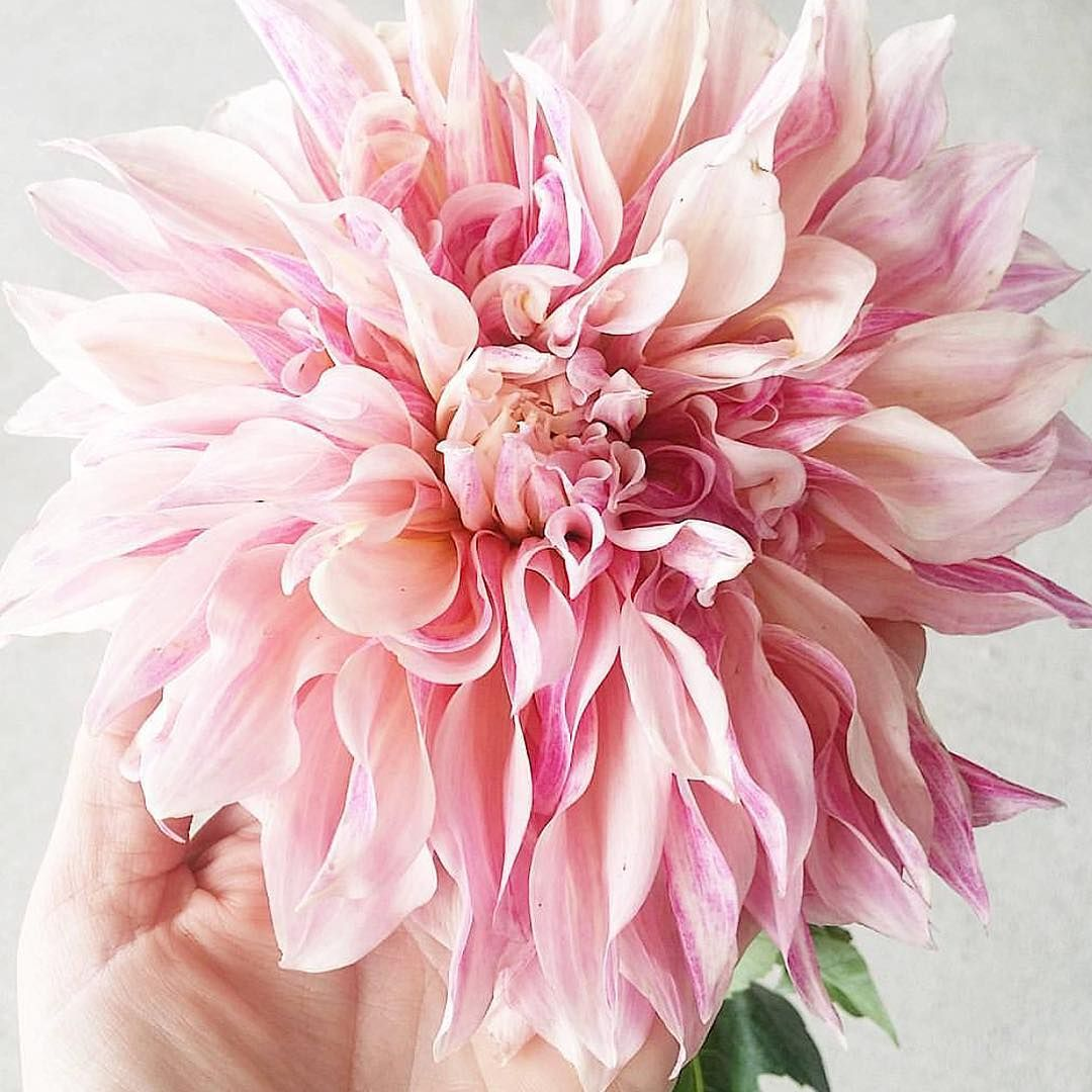 pink dahlia / amborella floral shop in calgary, ab Bloom