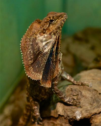 Chlamydosauraus Kingii Australia's beloved Frill Neck