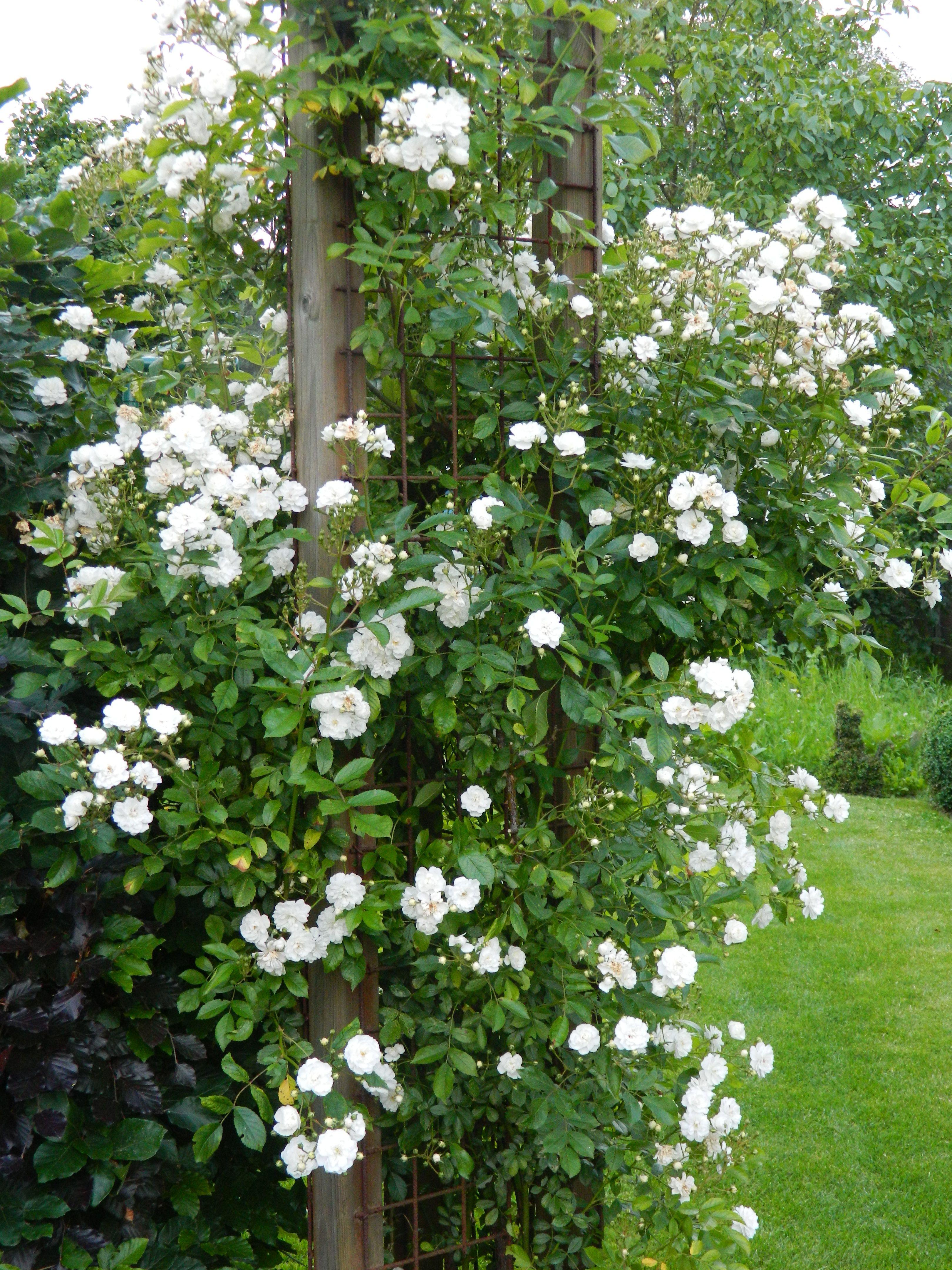 roos guirlande d 39 amour uit onze tuin pinterest rose. Black Bedroom Furniture Sets. Home Design Ideas