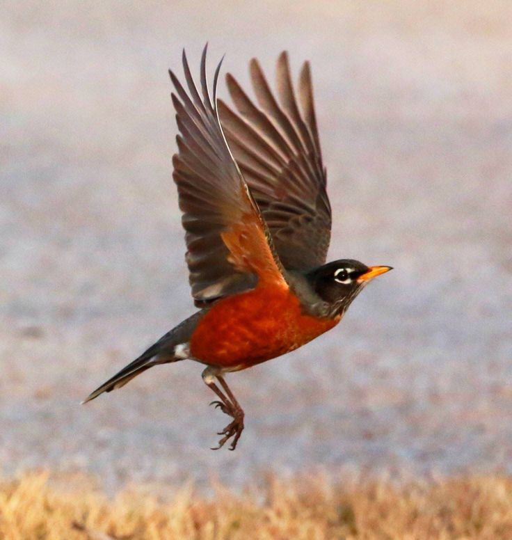 American Robin Flying