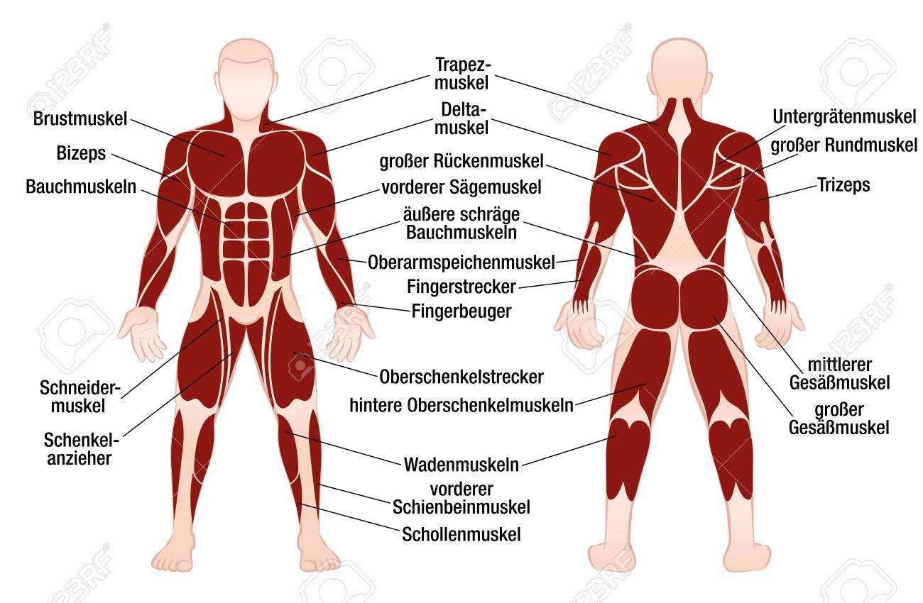Image Result For Muscle Back View Chart