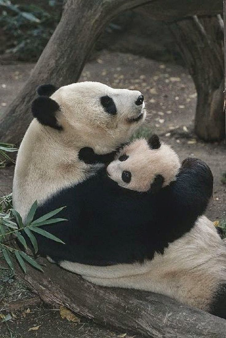 This is kinda how my big and I are. Mama panda and baby panda. And ...