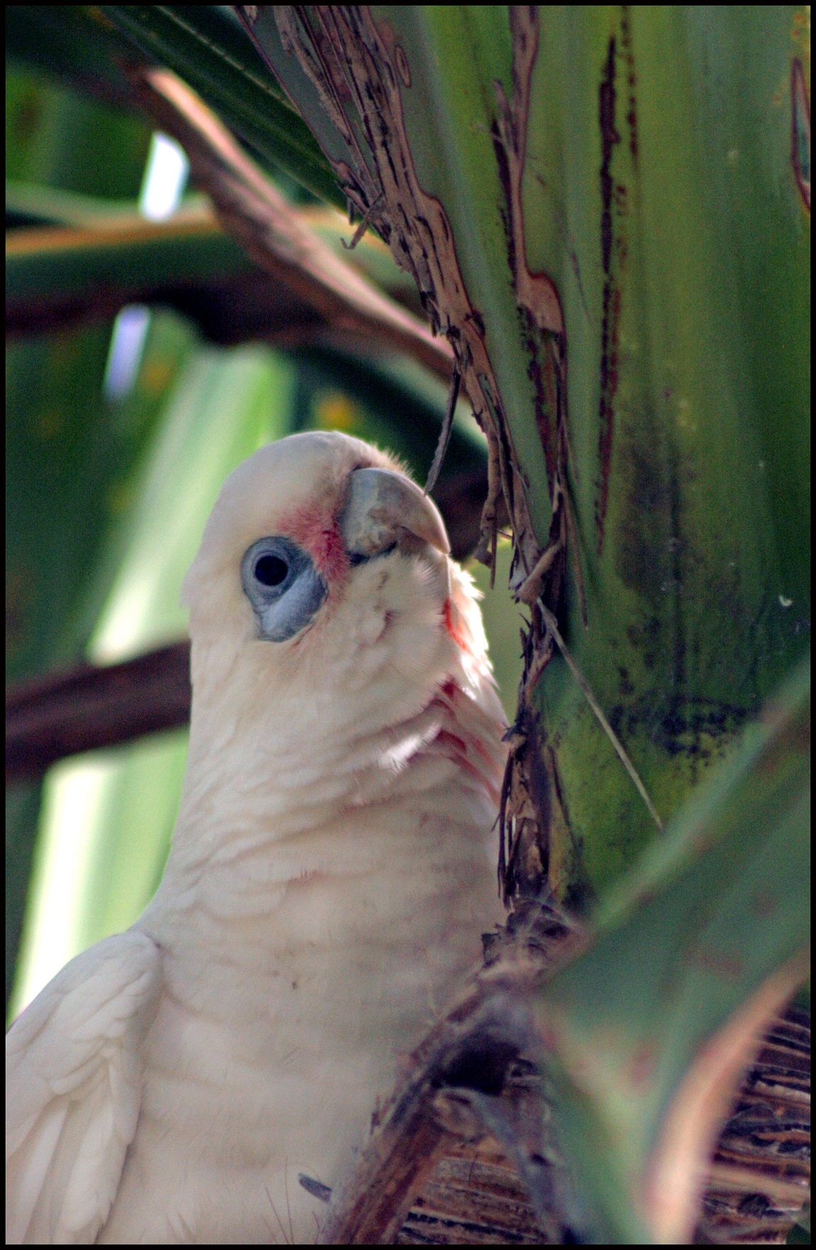 This Corella Was Checking Me Out. Coolum Beach. Qld. Aust