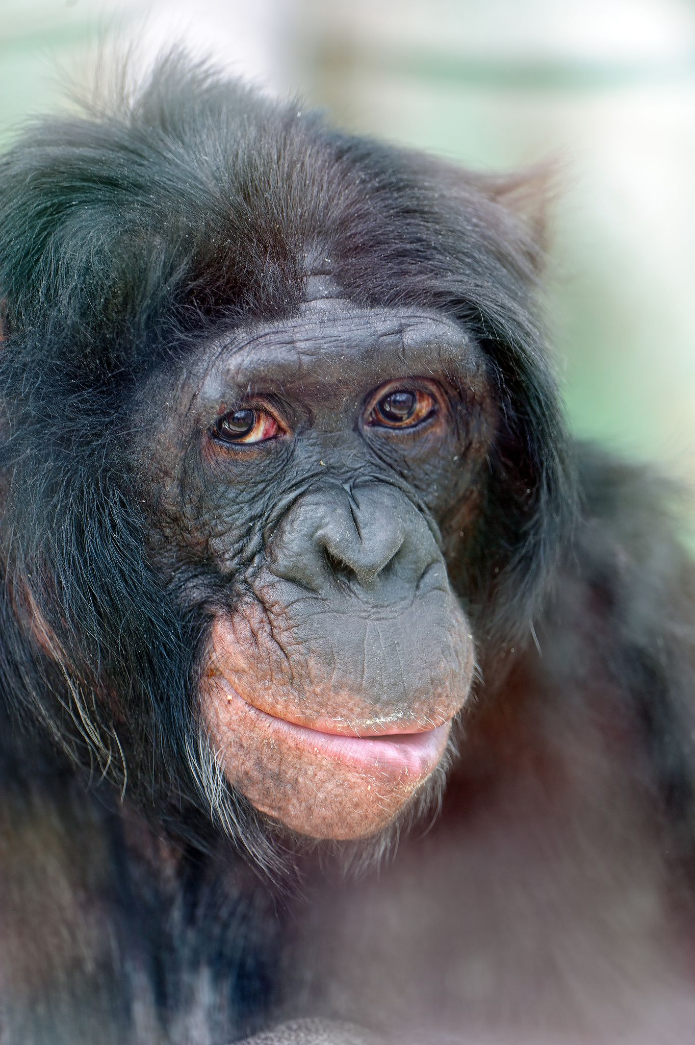 Portrait of a bonobo | by Tambako the Jaguar