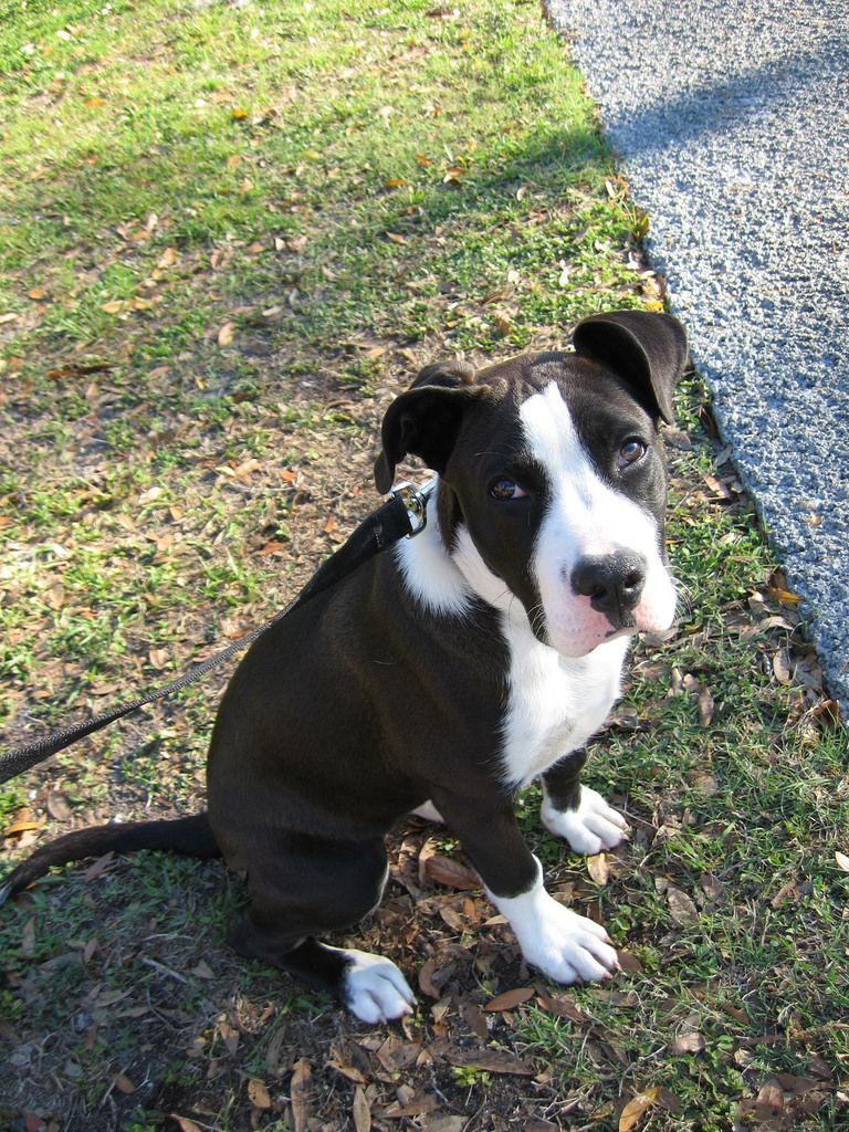Hera A Black White Boxer Mix Breed Puppy Boxer Puppies Mixed