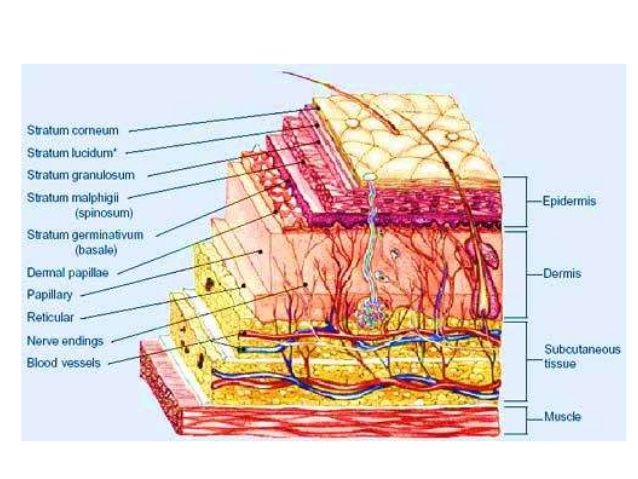 an analysis of the structure of the human anatomy B str 515 biological x-ray structure analysis (3)  in biological structure and  human biology courses, including gross anatomy, histology, and neuroanatomy.