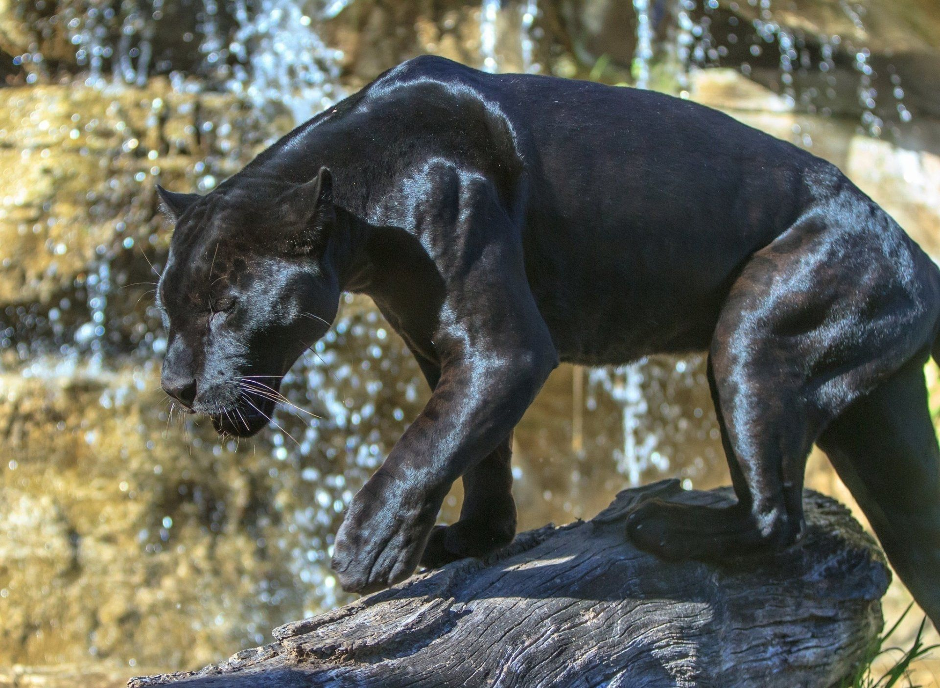 Jaguar Predator Black Animal Muzzle Art Wallpaper: Animal Black Panther Big Cat Wildlife Predator (Animal