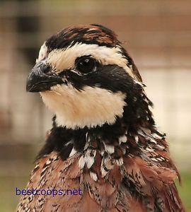 bobwhite quail facts | 20 Northern Bobwhite Quail Hatching