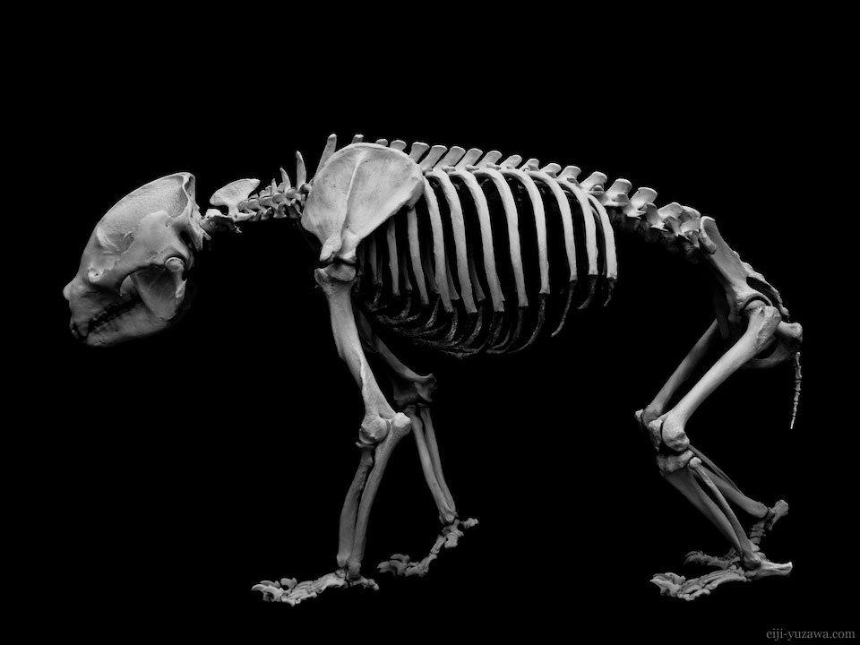 REAL BONES | EIJI YUZAWA | 動物解剖学, 動物の骨, ジャイアントパンダ