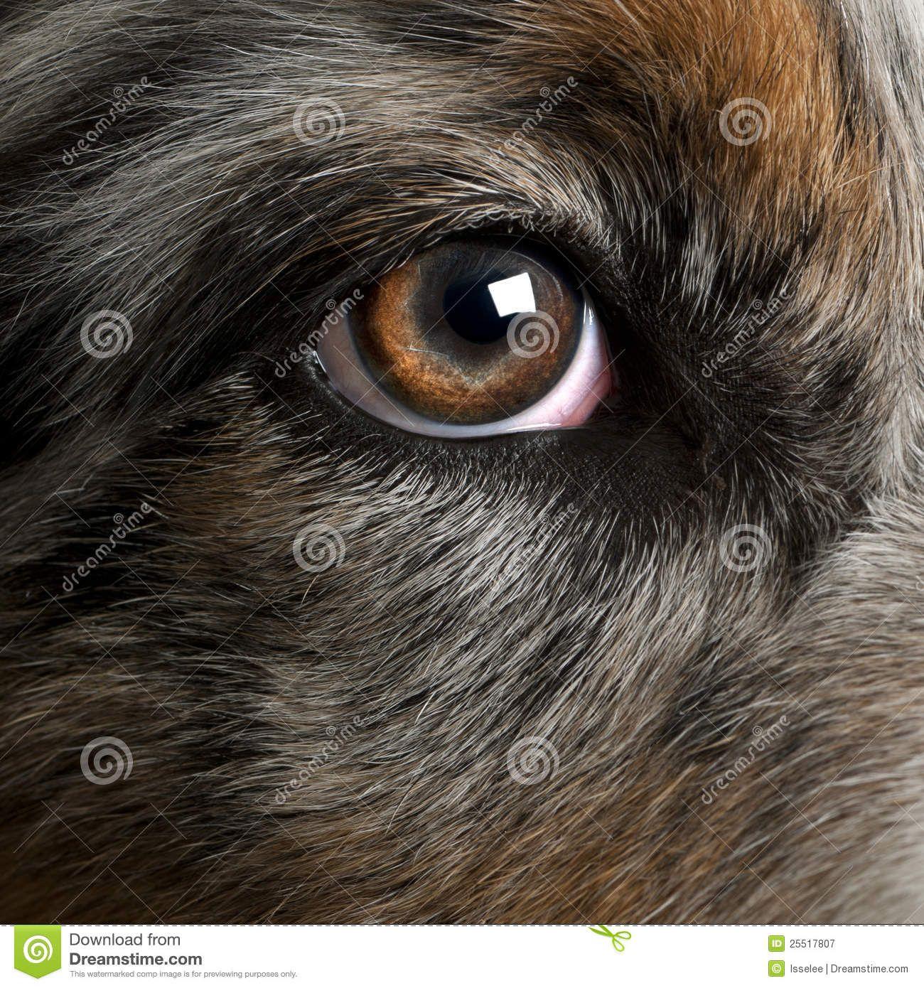 Dog\'s Eye Close-up Royalty Free Stock Photography - Image: 31733787 ...