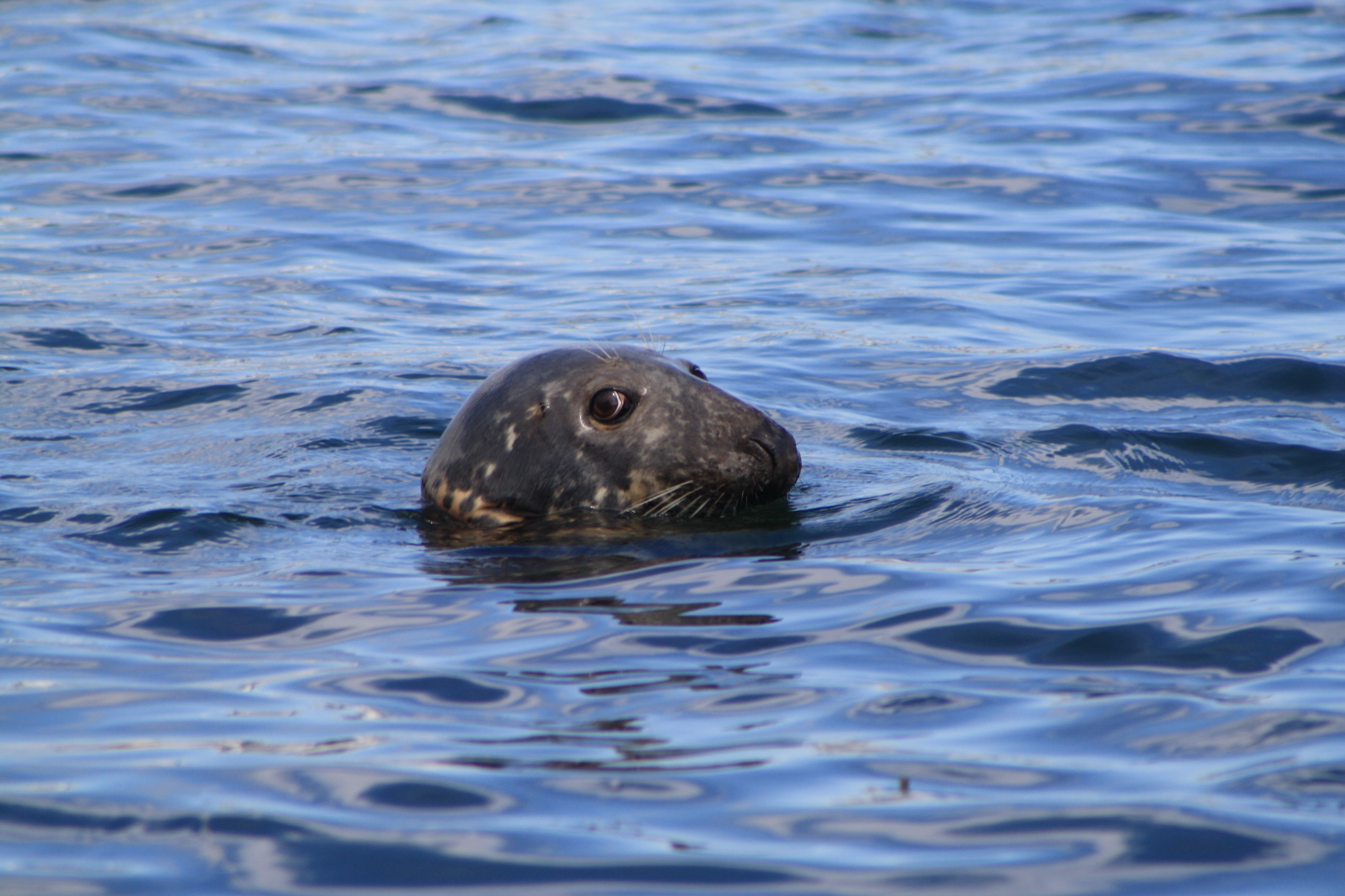 Seal at the Chatham, MA pier  2011