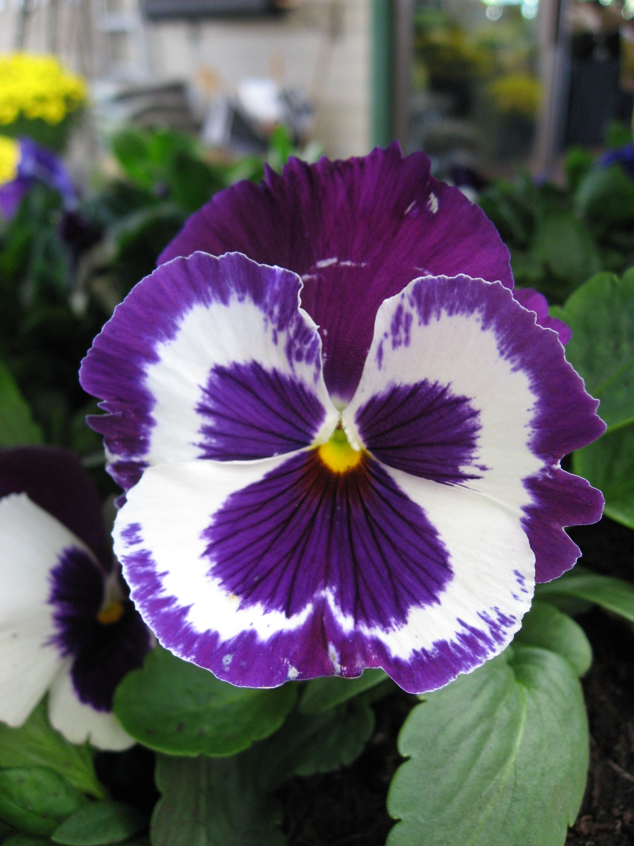 Pansy Field Grown Purple And White Pansies And Peonies