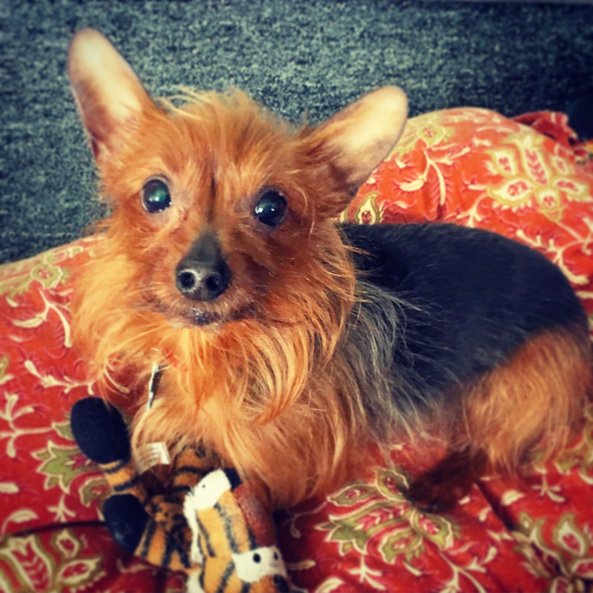 Jena S Gizmo It S A Yorkie Life Yorkie Yorkshire Terrier Puppies Yorkshire Terrier
