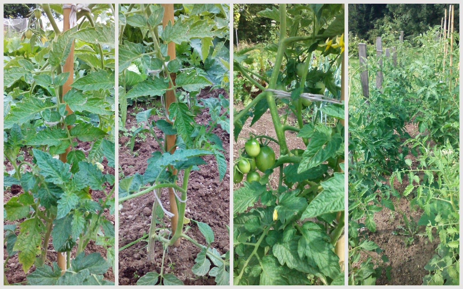 Amatorska Uprawa Pomidorow Lyzka I Motyka