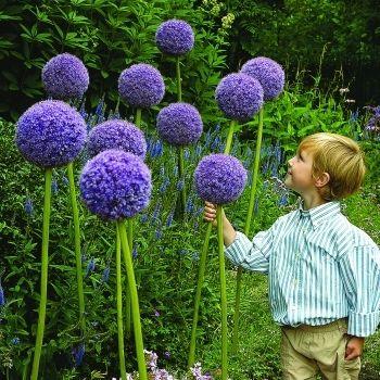 6 Giant Purple Sensation Allium Flower Power Fundraising Flower Catalogs Flower Seeds Allium Flowers