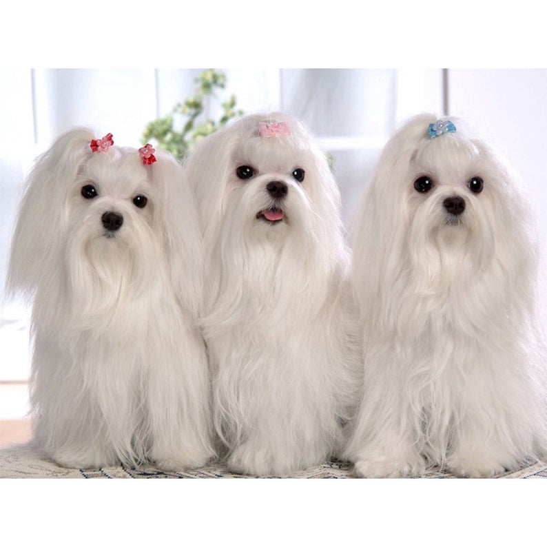 Full Square Round 5d Diy Diamond Painting Maltese Dog Diamond Etsy In 2020 Teacup Puppies Maltese Long Haired Dogs Maltese