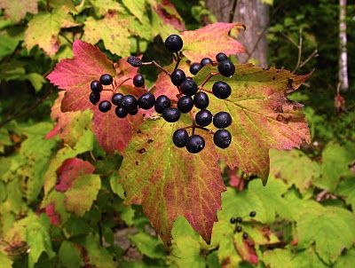 Saratoga Woods And Waterways I Found My Fruits Florida Trees Native Plants Trees And Shrubs
