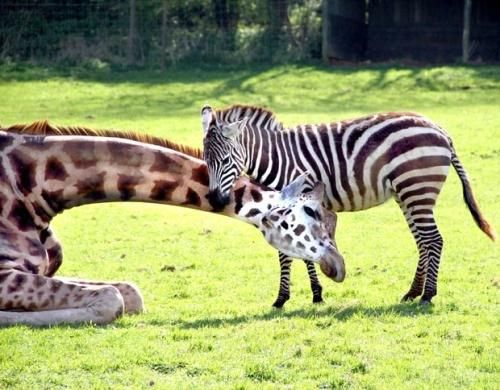 girafe...