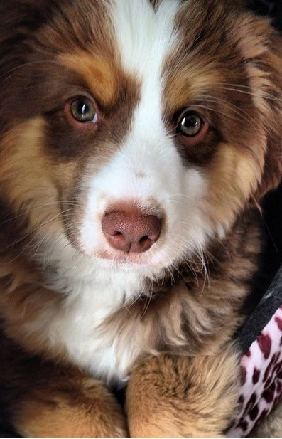 19 Reasons Australian Shepherds Are The Best Looking Dogs In The World Aussie Dogs Australian Shepherd Dogs Australian Shepherd Puppies