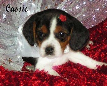 Cassie The Pocket Beagle Puppy Courtesy Of Pocket Beagles Usa