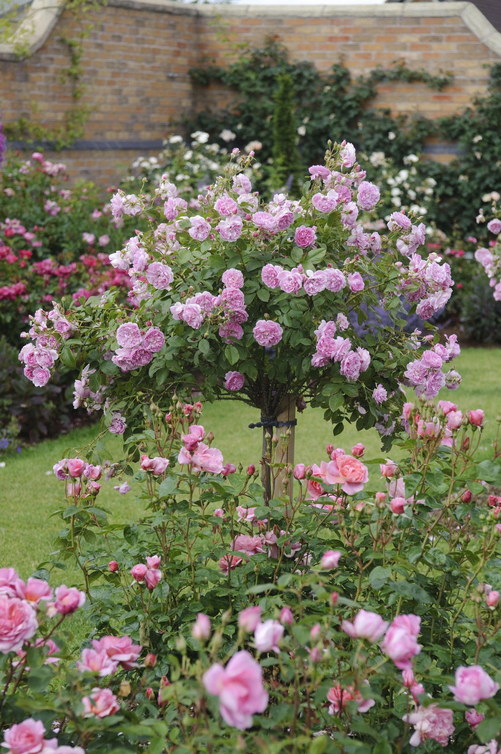 Harlow Carr Standard Rose Garden Design Rose Garden Garden