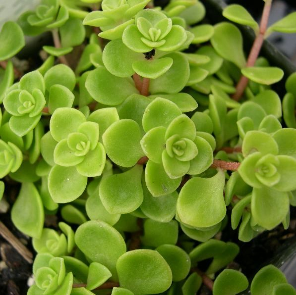 Sedum Makinoi - Golden foliage with yellow-green flowers in summer, good groundcover , hardy, butterflies love it.