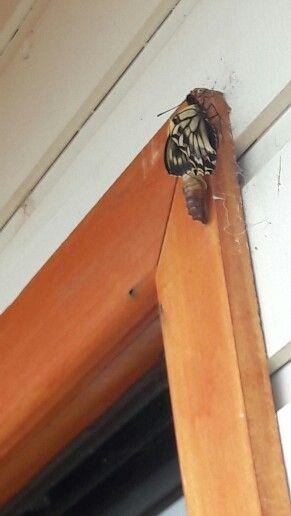 Mariposa saliendo del capullo ☺
