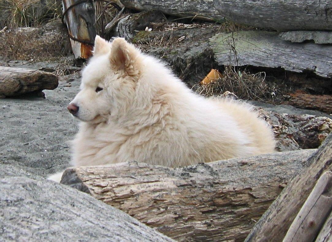 Samoyed Dog Simple English Wikipedia The Free Encyclopedia