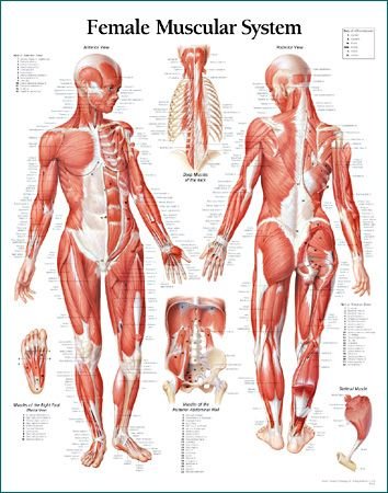 Muscular System Female Educational Chart Poster 22 x 28in - muscle chart template
