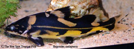 Gold Synodontis Nigrita Catfish Reg Synodontis Nigrita Gold Freshwater Catfish Aquarium Fish Cool Fish