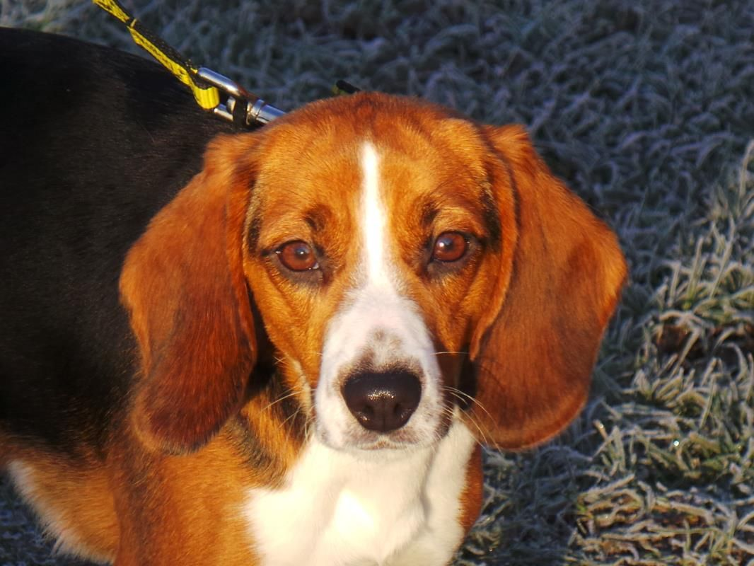 Adopt A Dog Barbie Beagle Dogs Trust Dogs Dog Adoption