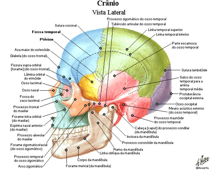 Articulações Fontanelas Do Crânio Anatomia Papel E Caneta Anatomia Do Crânio Humano Crânio Anatomia Anatomia Ossos