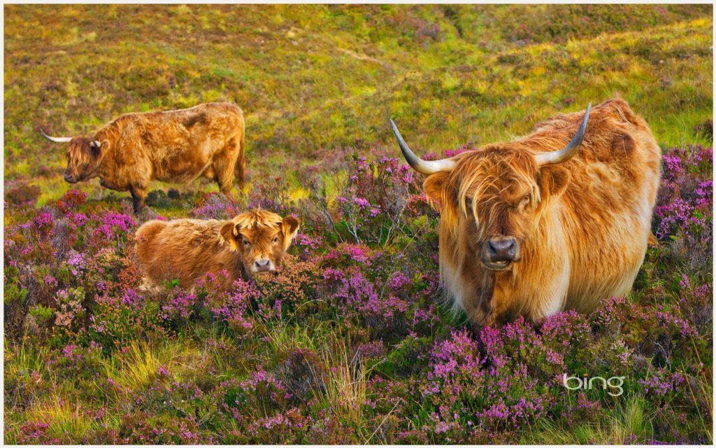 Scottish Highland Cattle Cow Wallpaper Scottish Highland Cattle Cow Wallpaper 1080p Scottish Highland Cattle Cow Wallp Highland Cattle Animals Cow Wallpaper