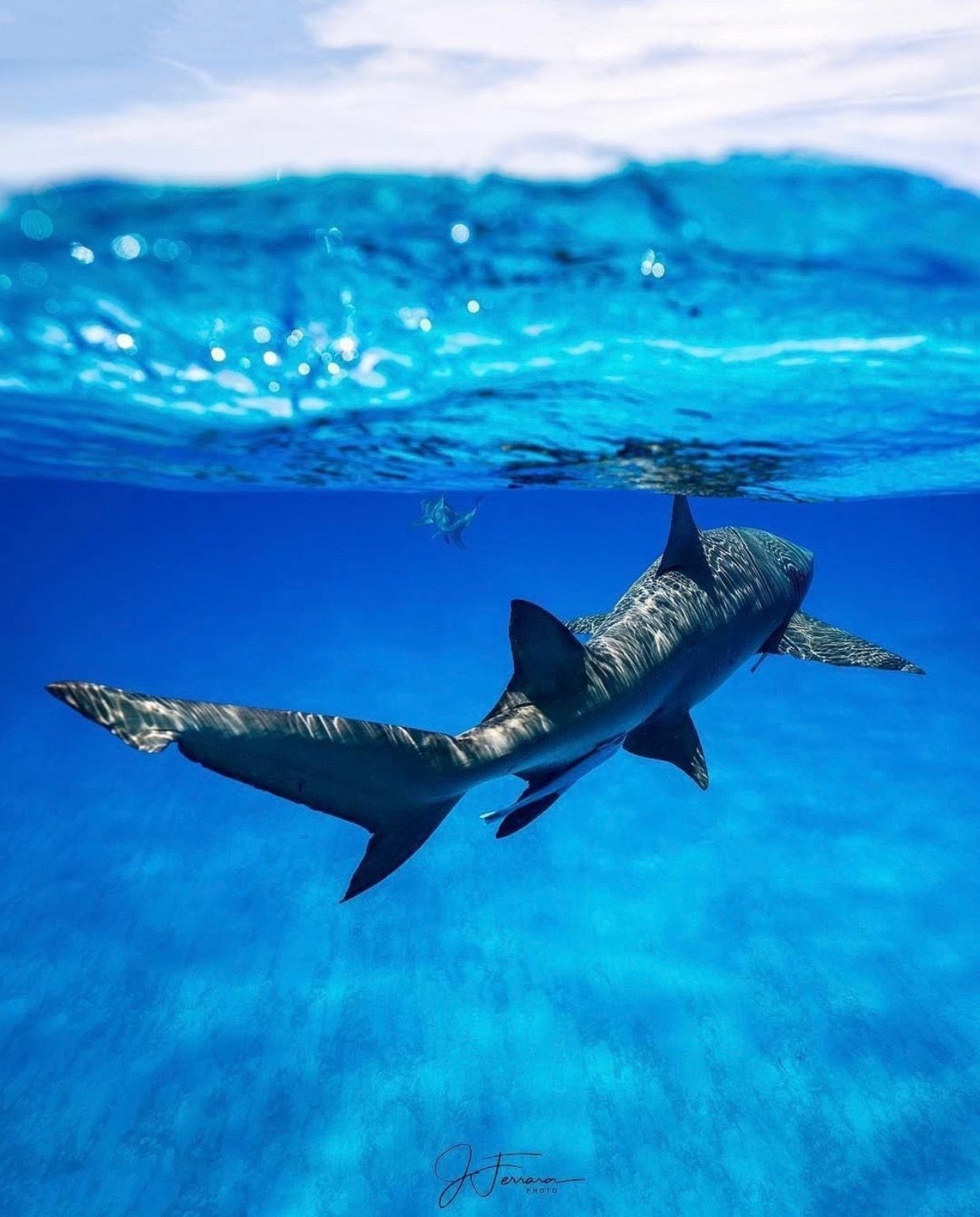 Un Requin サメ 魚 水中
