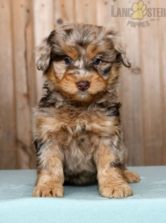 Cinnamon Mini Aussiedoodle Puppy for Sale in Fresno, OH