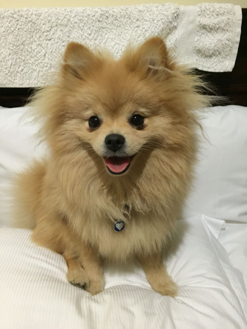 Pictures Of Toy Pom Dogs