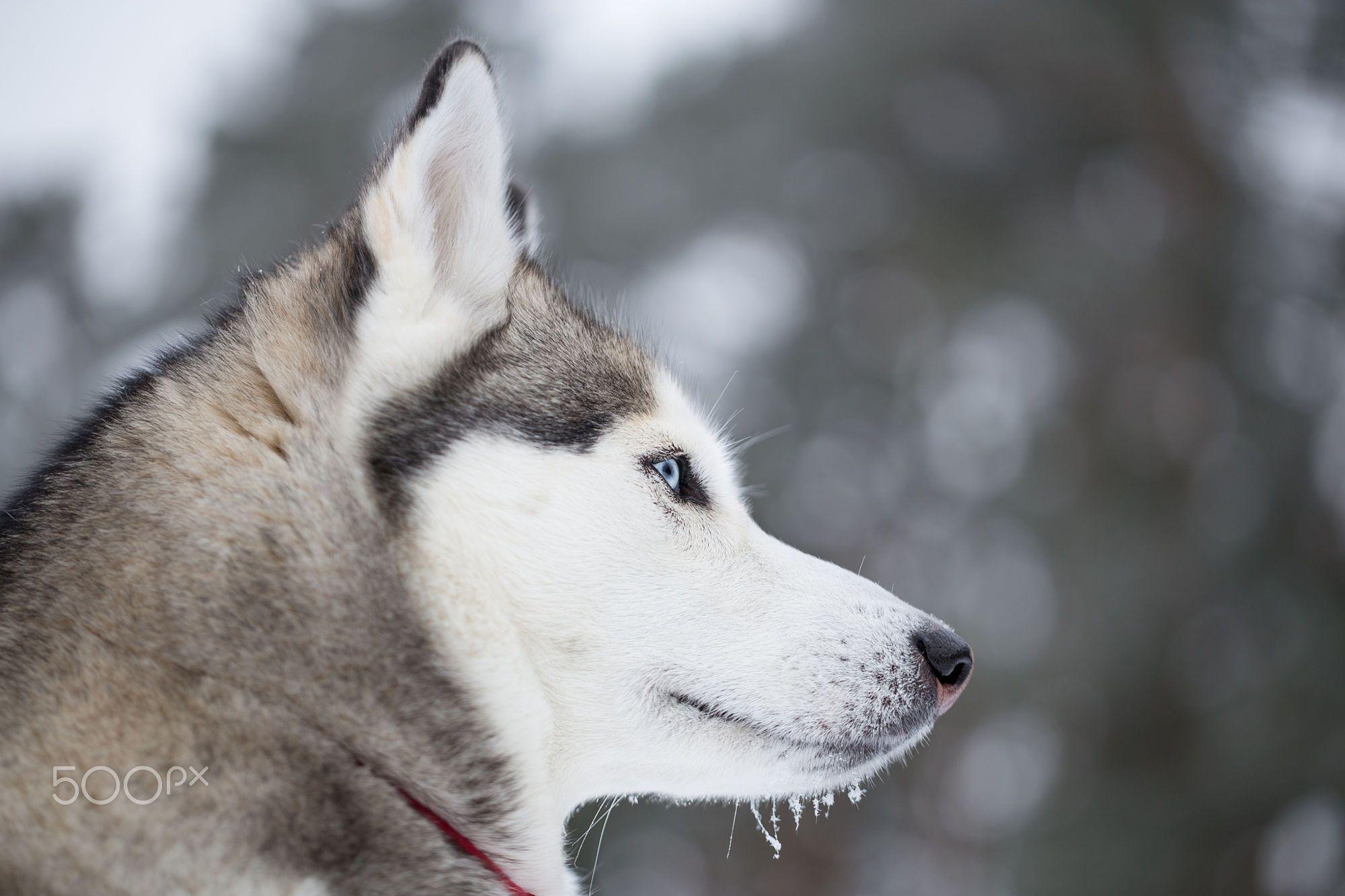 Portrait Of A Siberian Husky In Profile Husky In Winter Forest