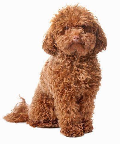 toypoodle Low maintenance dog breeds, Non shedding dog