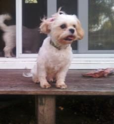 Adopt Oliver On Puppy Love Dogs Shih Tzu Poodle Mix Shih