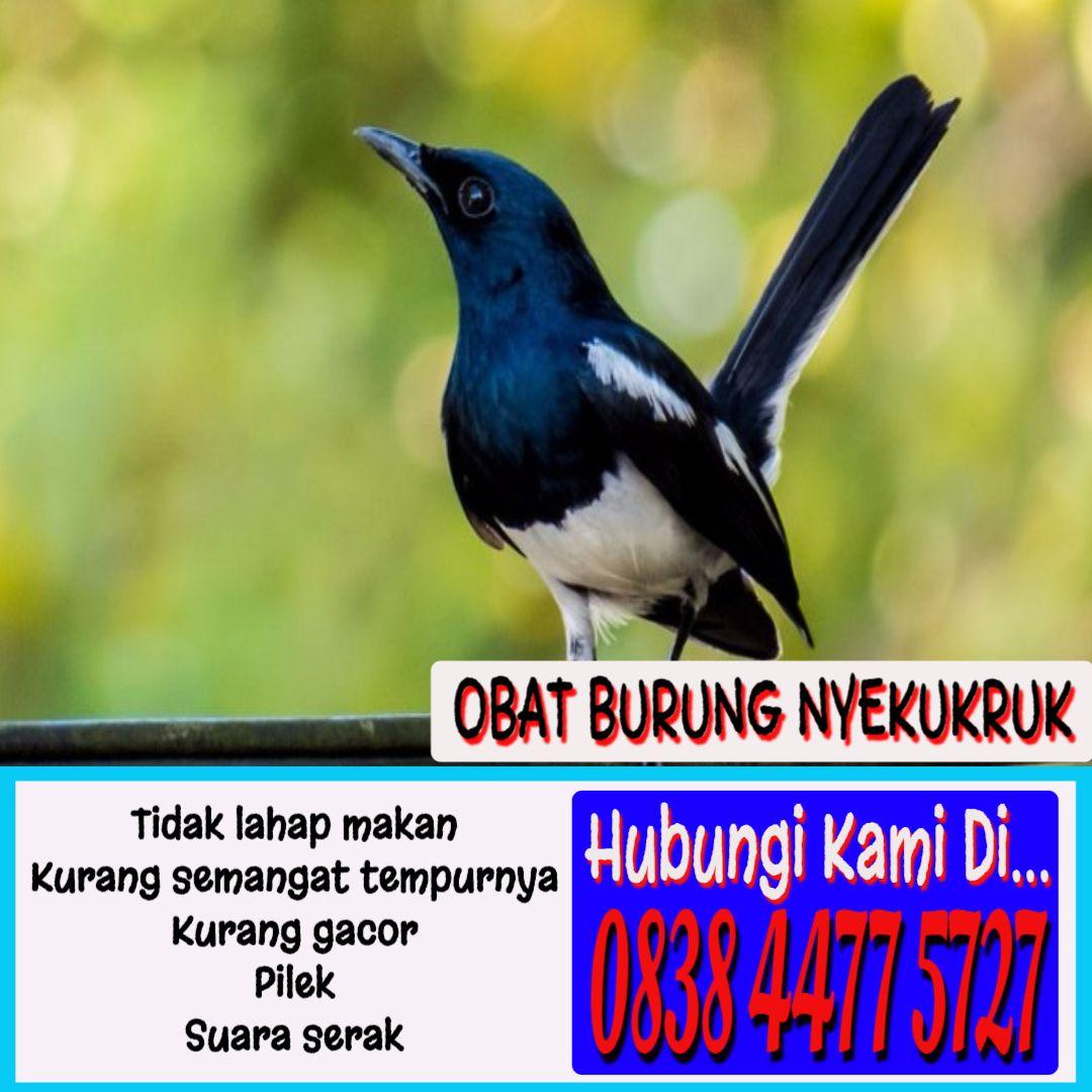 Obat Gurah Burung Obat Gurah Burung Kenari Obat Gurah Burung Kacer Obat Gurah Burung Murai Batu Obat Gurah Burung Cucak Ijo Obat Burung Bahan Alami Hidup